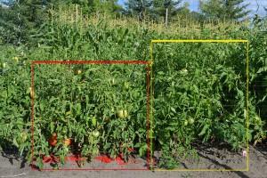 Red-Tomatos